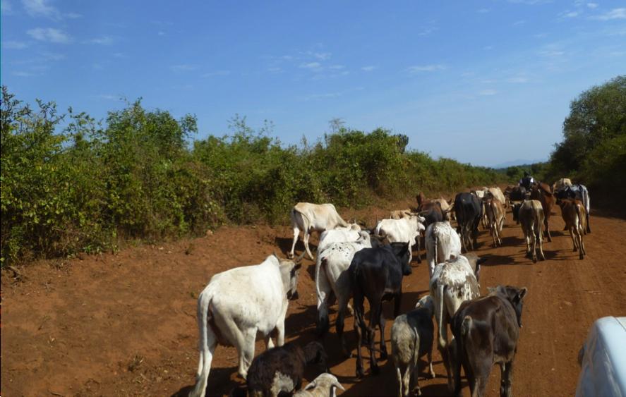 cows_walking